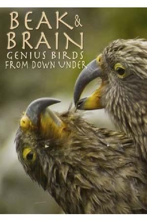Poster: Superhirn im Federkleid - Kluge Vögel im Duell